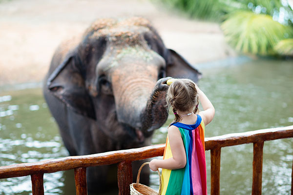 Young girl feeding an elephant at the zoo