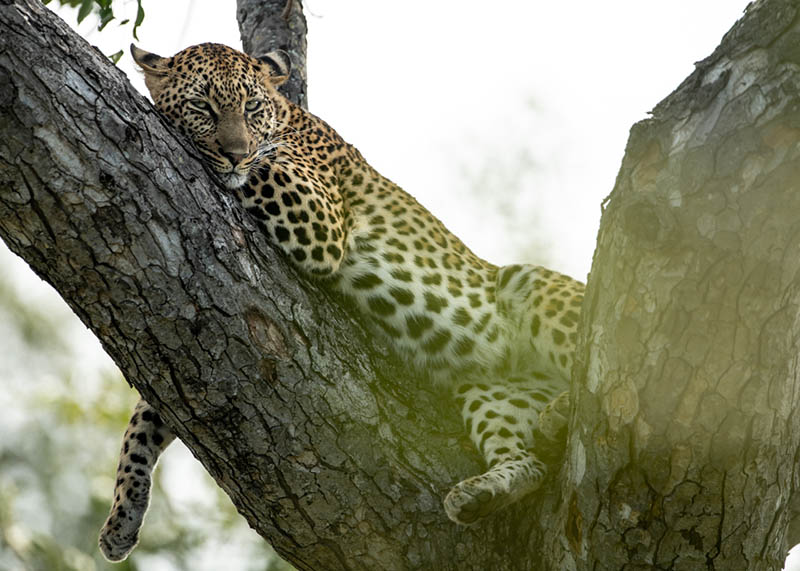 A photo of a leopard in a tree taken while on a virtual safari at Singita Sabi.
